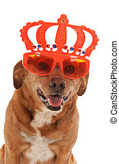 Queens day in Holland - Dog funny dressed for queens day in...