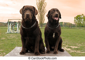 two labrador retriever
