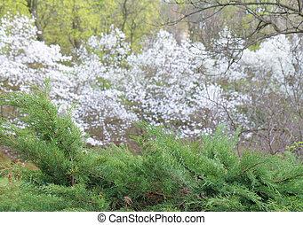 White magnolia tree blossom and fir tree frame
