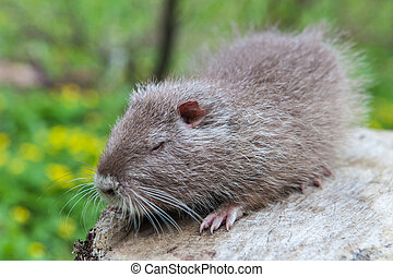 Coypu or Nutria - Nutria, photo taken on the banks of the...