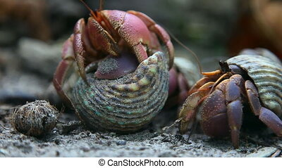 Hermit crabs. - Hermit crabs on the sandy beach.