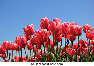 Pink tulips in sunlight - Pink tulips on a field and a clear...