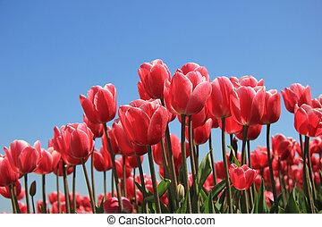 Cor-de-rosa,  tulips, luz solar