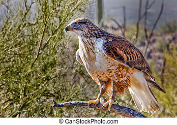 Hawk in the Wild - Ferruginous Hawk