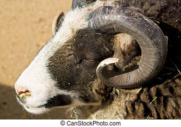 Wild Ram - A Wild Ram Side Head Shot