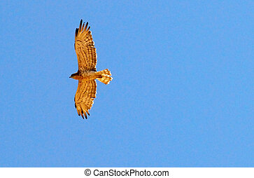 Wildlife Photos - Hawk - Hawk during flight in air