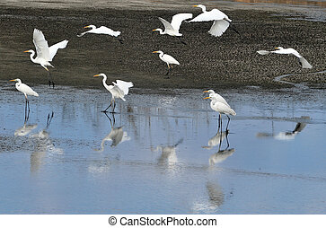 Wildlife Photos - Little Egret - Group of a Little Egret in...
