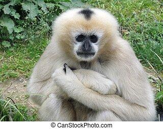 White Gibbon - White Gibbon thinking about life