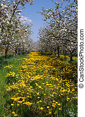 Apple orchard in spring