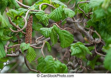 Corkscrew hazel - Catkins of corkscrew hazel (Corylus...