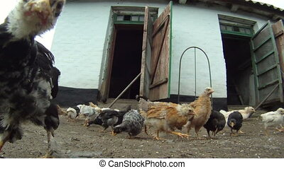 Active chickens