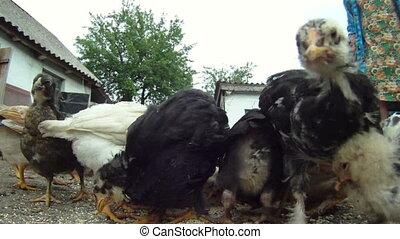 Pretty chicks