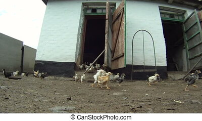 Invasion of chickens - A flock of chickens eating their food...