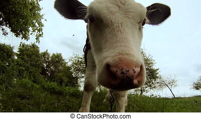 Young cow in a field