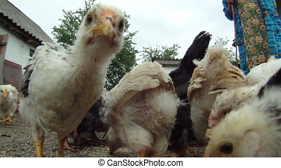 Bird turmoil - A flock of chickens eating their food which...