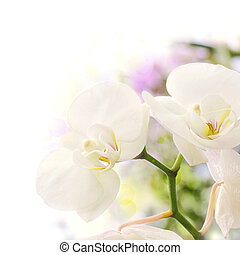 white orchids over a blur background with bokeh effect, with...
