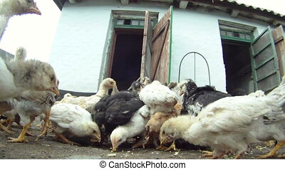 Panic in the henhouse - A flock of chickens eating their...