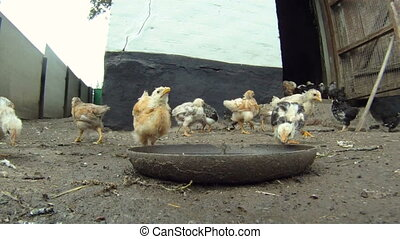 Young chick - A flock of chickens eating their food which...