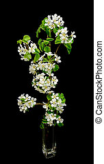blooming apple branch on a black background