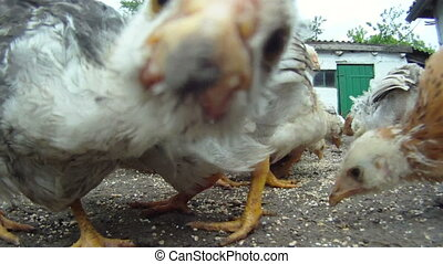 Turmoil in the henhouse - A flock of chickens eating their...