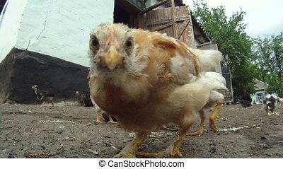 Cheesy chicken coop