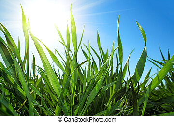 Green grass and blue sky with sun