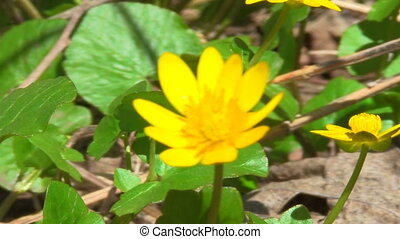 yellow flower - spring, the first flowers