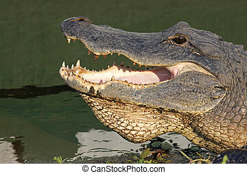 Head of an American alligator - Open mouth of an American...