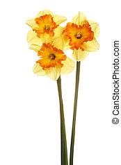 Three stems of orange and yellow daffodils