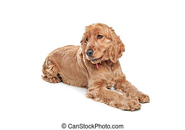 Brown cocker spaniel dog in front of a white background