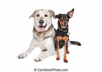 miniature Pinscher and a mixed breed Labrador in front of...