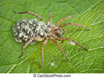 Mother wolf spider with babies - A mother wolf spider keeps...