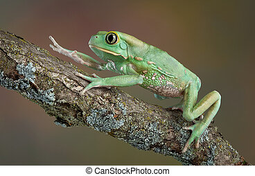 Waxy tree frog climbing - A giant waxy monkey tree frog is...