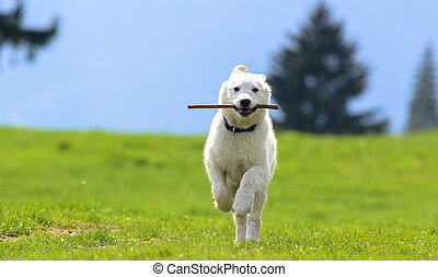 Fetch 2 - a puppy bringing a stick
