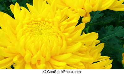 yellow chrysanthemum flower. - Pan shot of three yellow...