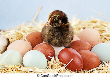 Araucana Chick and Eggs - Adorable little Araucana chick...