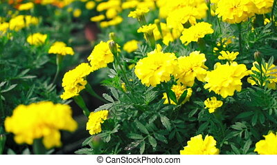 Yellow Marigold Flowers - A pan shot of a field of Yellow...