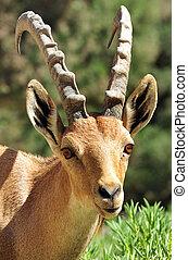 Fotos, Tierwelt,  -, Steinbock