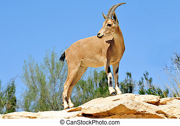 Wildlife Photos - Ibex - Ibex Mountain goats near kibbutz...