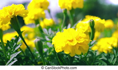 Yellow Marigold Flowers in windy garden