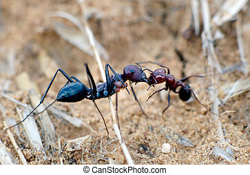 Wildlife - Ants - A large black ant kills a small black ant