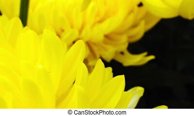 yellow chrysanthemum flower - Marco pan shot of a yellow...