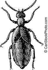 Blister Beetle or Meloe sp, vintage engraving - Blister...