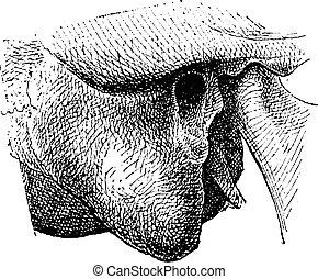 Human Mastoid Process, vintage engraving - Human Mastoid...