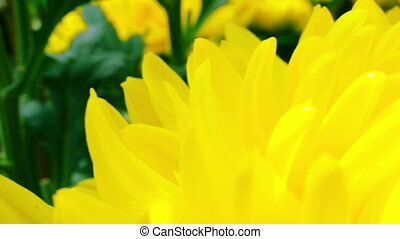 yellow chrysanthemum flower - Marco shot of a yellow...