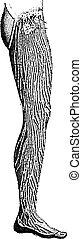 Lymphatic Vessels of the Leg, vintage engraving