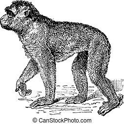 Barbary Macaque or Macaca sylvanus, vintage engraving -...