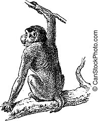 Macaque or Macaca sp., vintage engraving - Macaque or Macaca...