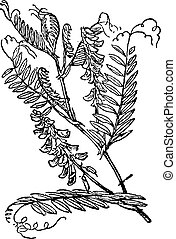 Tufted Vetch or Vicia cracca, vintage engraving - Tufted...