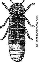 Glowworm or Lampyris noctiluca, vintage engraving - Glowworm...